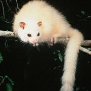 Название: whitepossum.jpg Просмотров: 500  Размер: 9.1 Кб